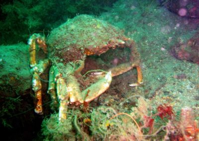 Entangled Spider Crab