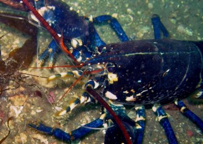 Lobster in angling line